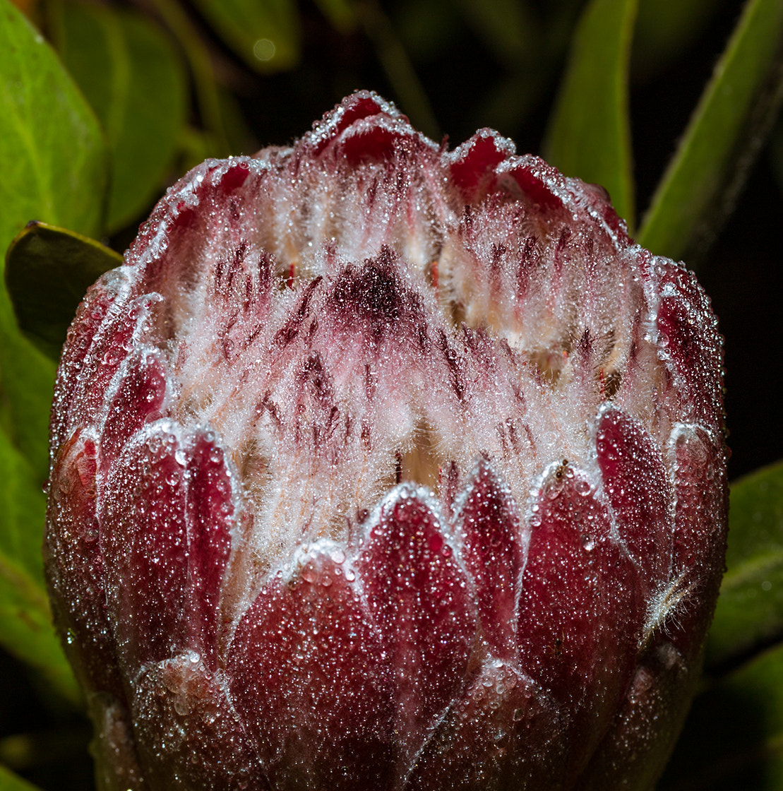 Photograph Protea by Roger Fanner on 500px