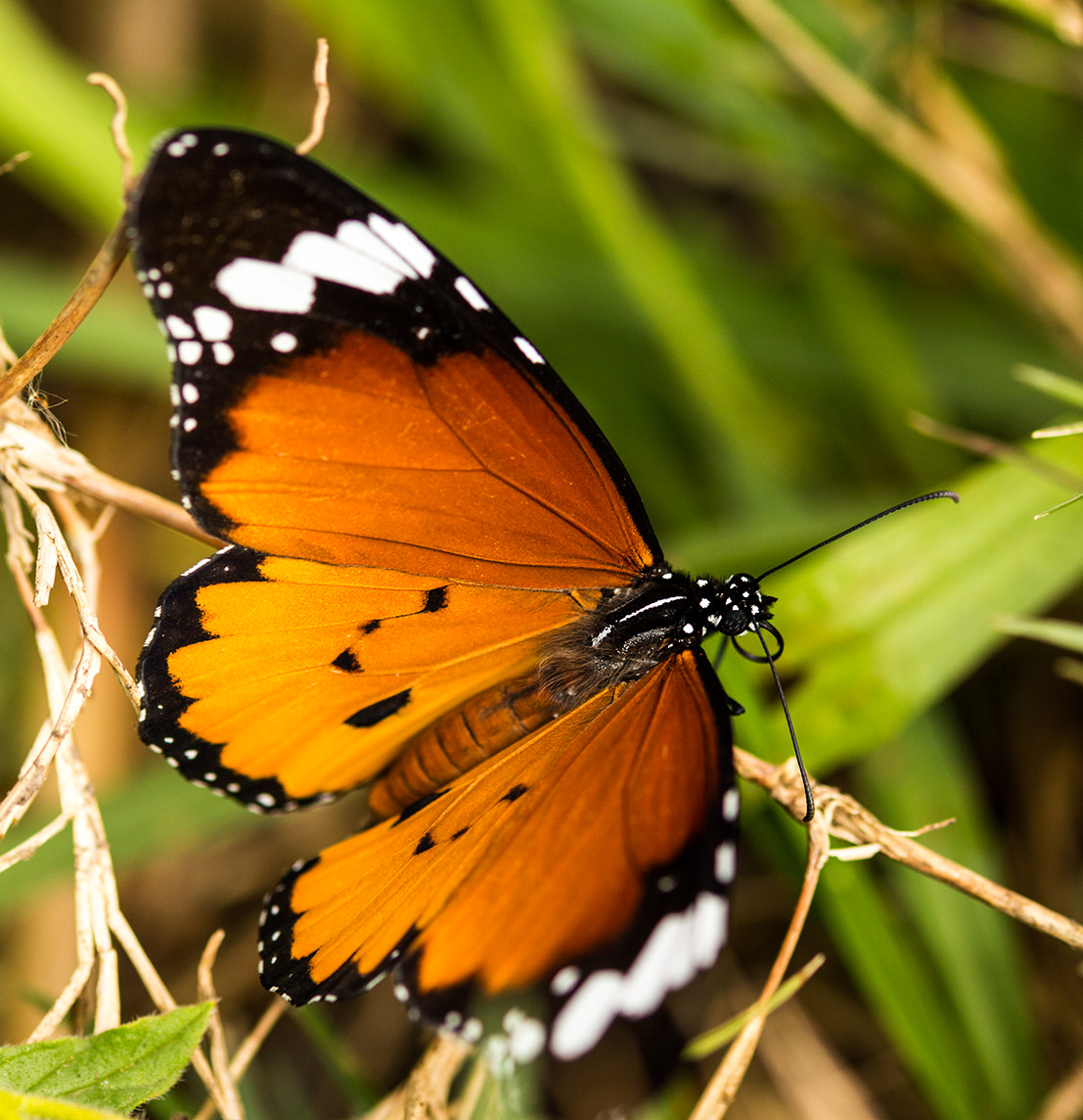 Photograph Golden Butterfly by Roger Fanner on 500px