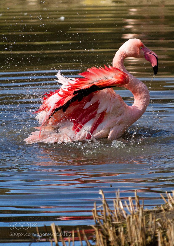Photograph Flamingo by Jakob W. on 500px