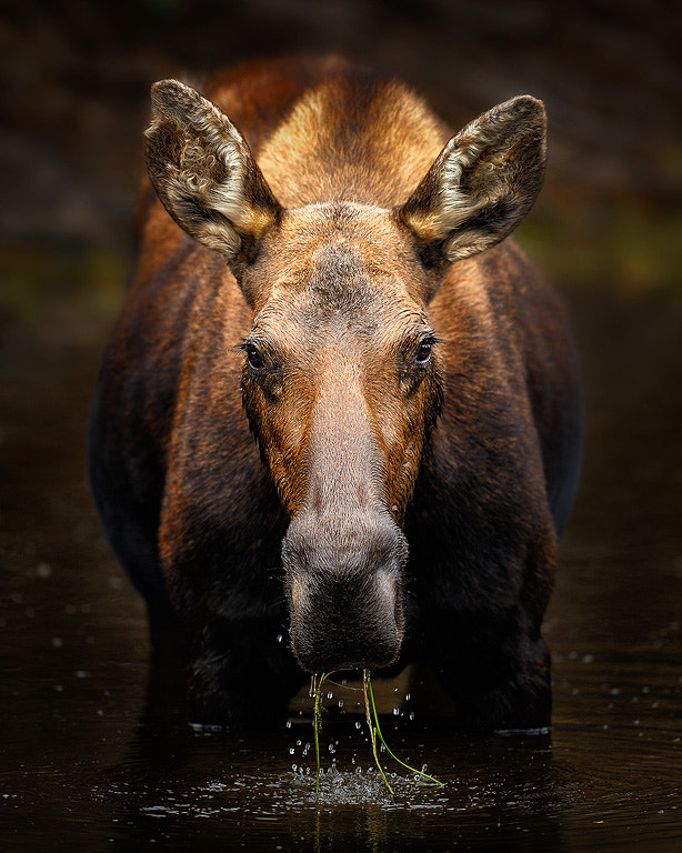 Photograph Moose In A Pond by Steve Perry on 500px