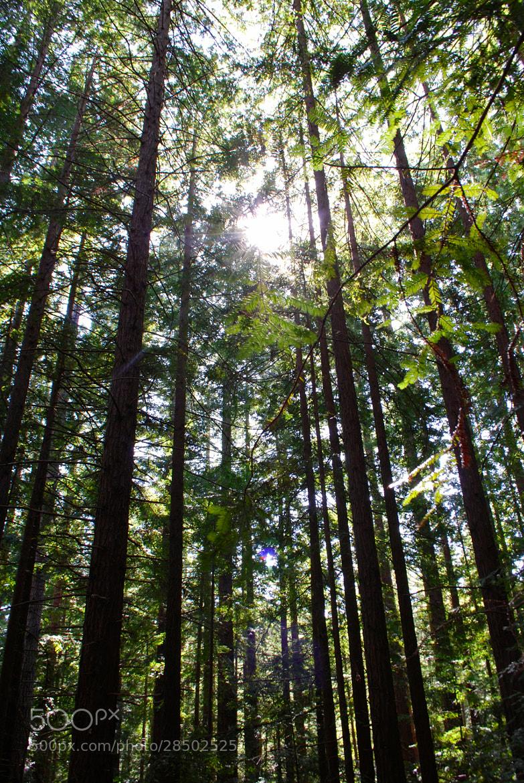 Photograph Redwoods by Dan Hauk on 500px