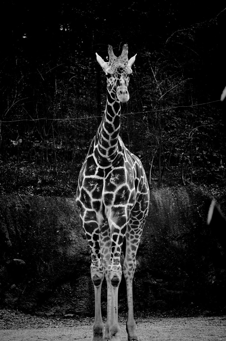Photograph Giraffe  by Scott Bader on 500px