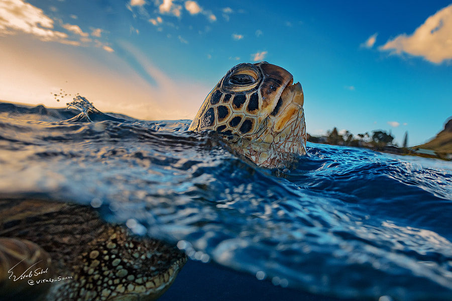 Honu by Vitaliy Sokol on 500px.com