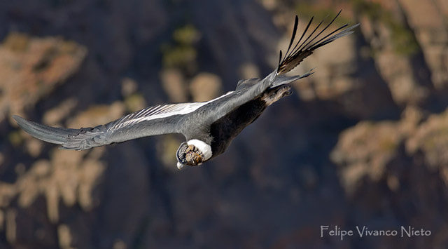 Photograph Cóndor - Vultur Gryphus. by Felipe Vivanco on 500px