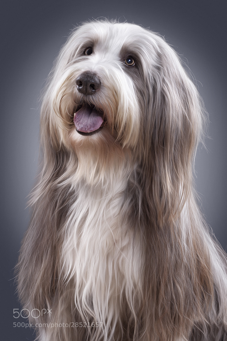 Photograph Bearded Collie by Sven Engel on 500px