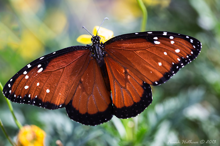Photograph Queen Danaus Gilippus by Frank Hatcher on 500px