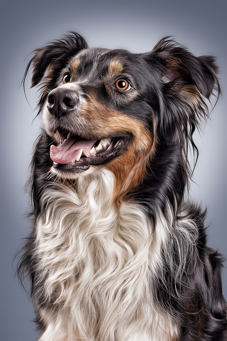 Photograph Australian Shepherd by Sven Engel on 500px
