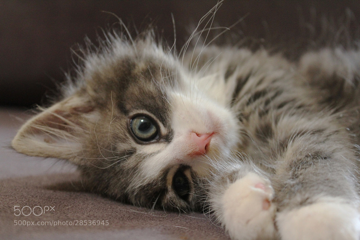Photograph A Kitten's Life  by Vince Lane on 500px