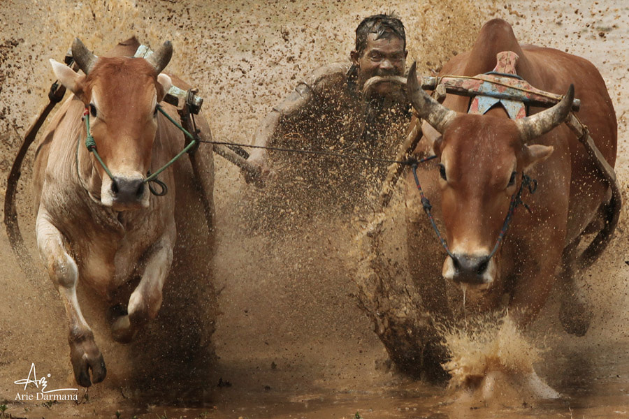 Photograph Cow Race (Pacu Jawi) by Arie Darmana on 500px