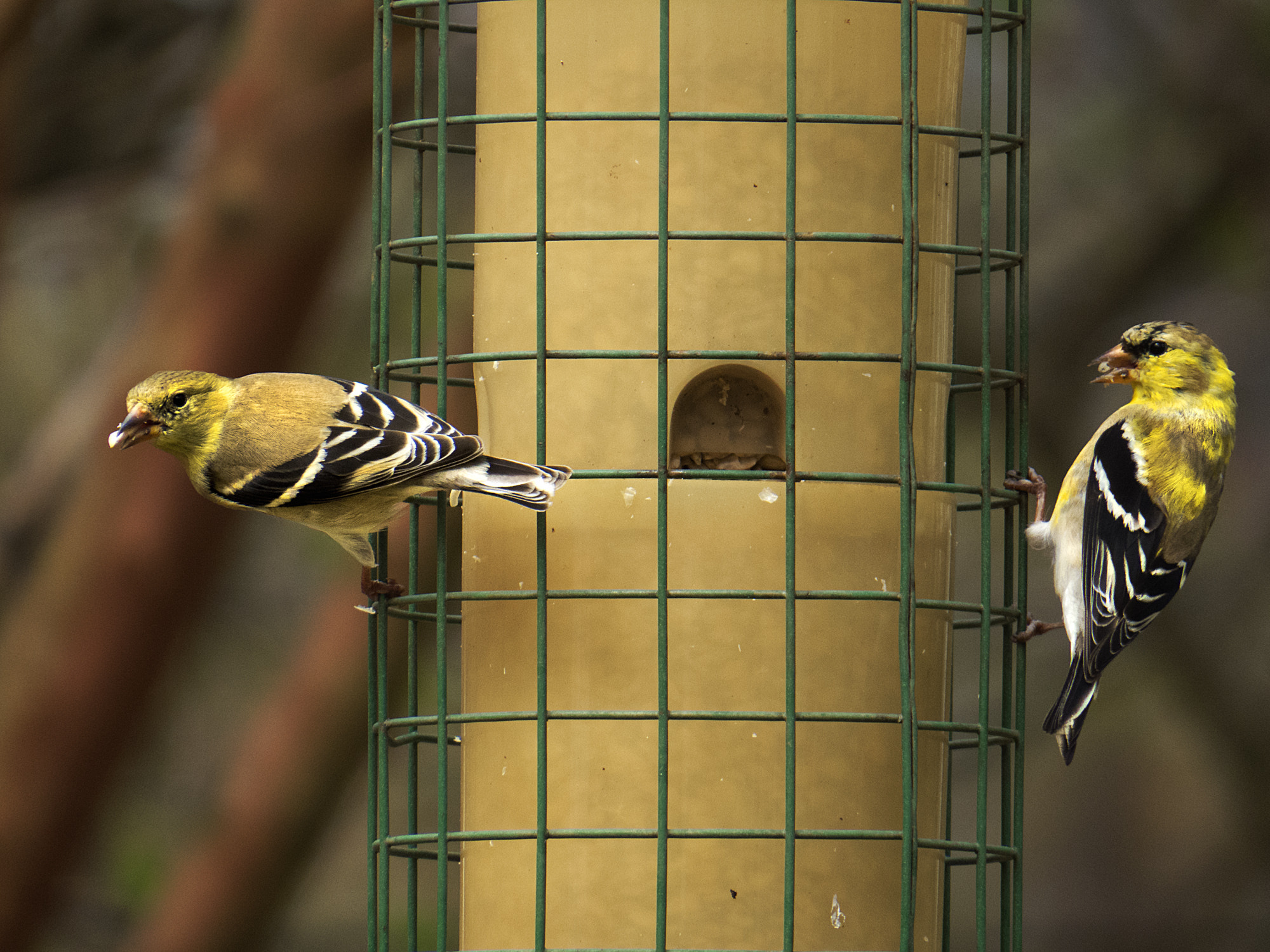 Photograph Goldfinch's Return by Kevin Shorter on 500px