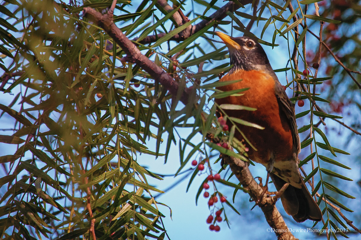 Photograph Red Robin in the Pepper Tree by Denise Dewire on 500px
