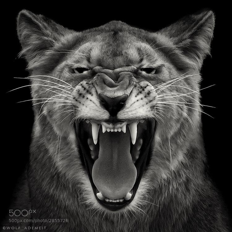 22 lioness fangs