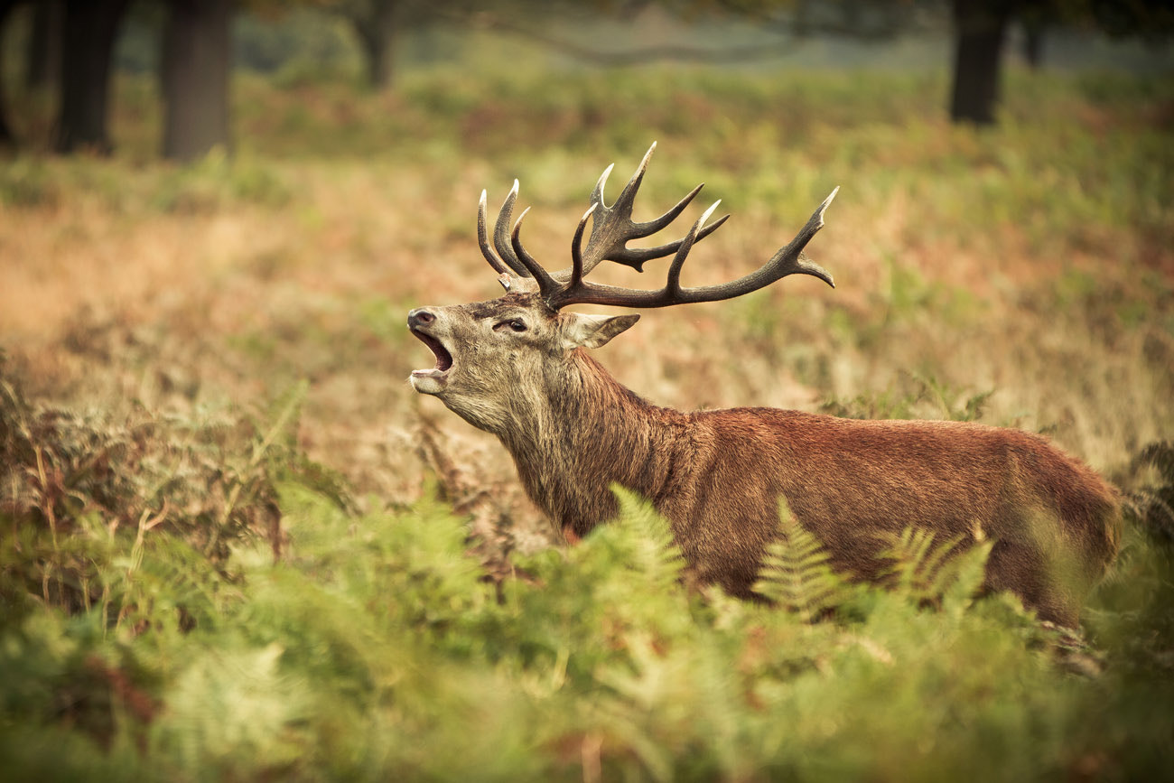 Photograph red deer by Arturas Kerdokas on 500px