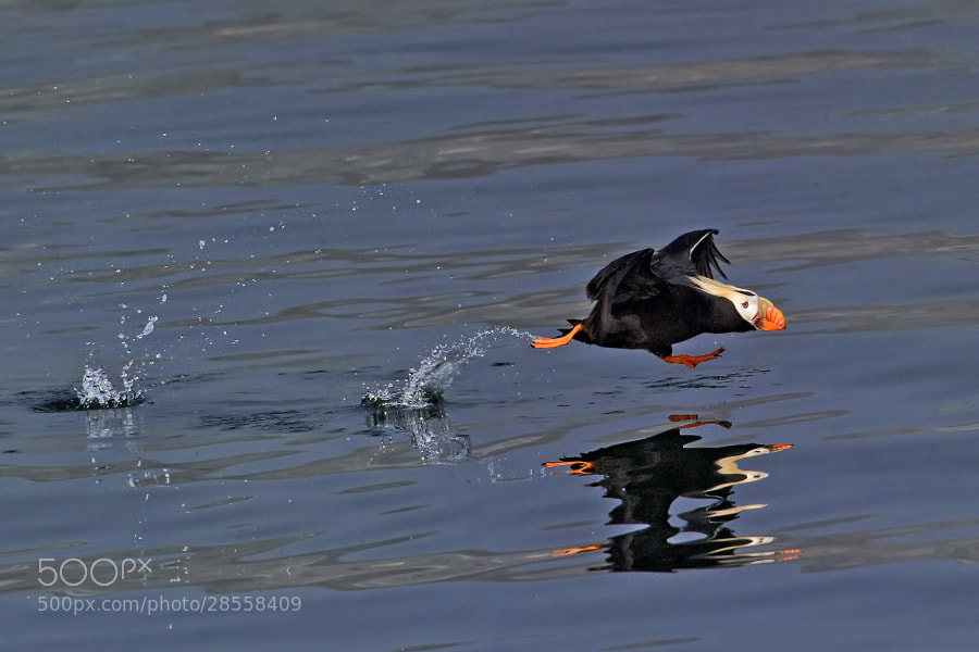Photograph A huffin' and a puffin. by Marc MOL on 500px