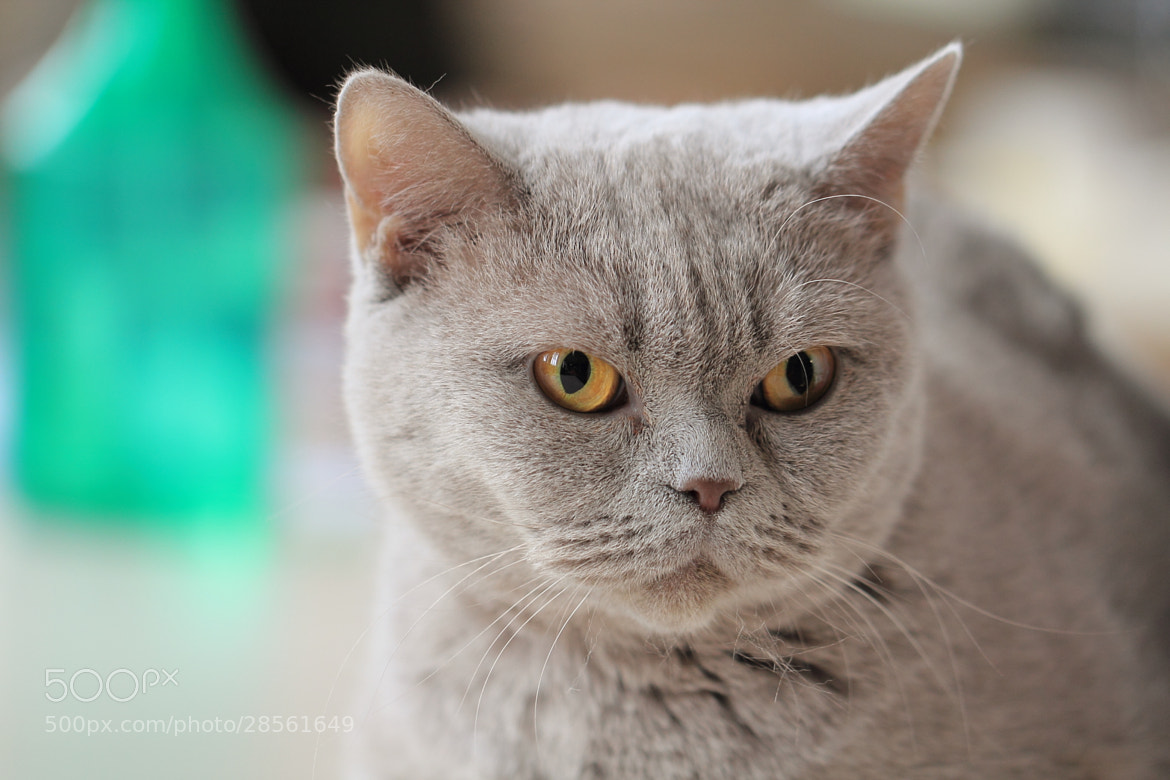 Photograph British Shorthair by Eva Lechner on 500px