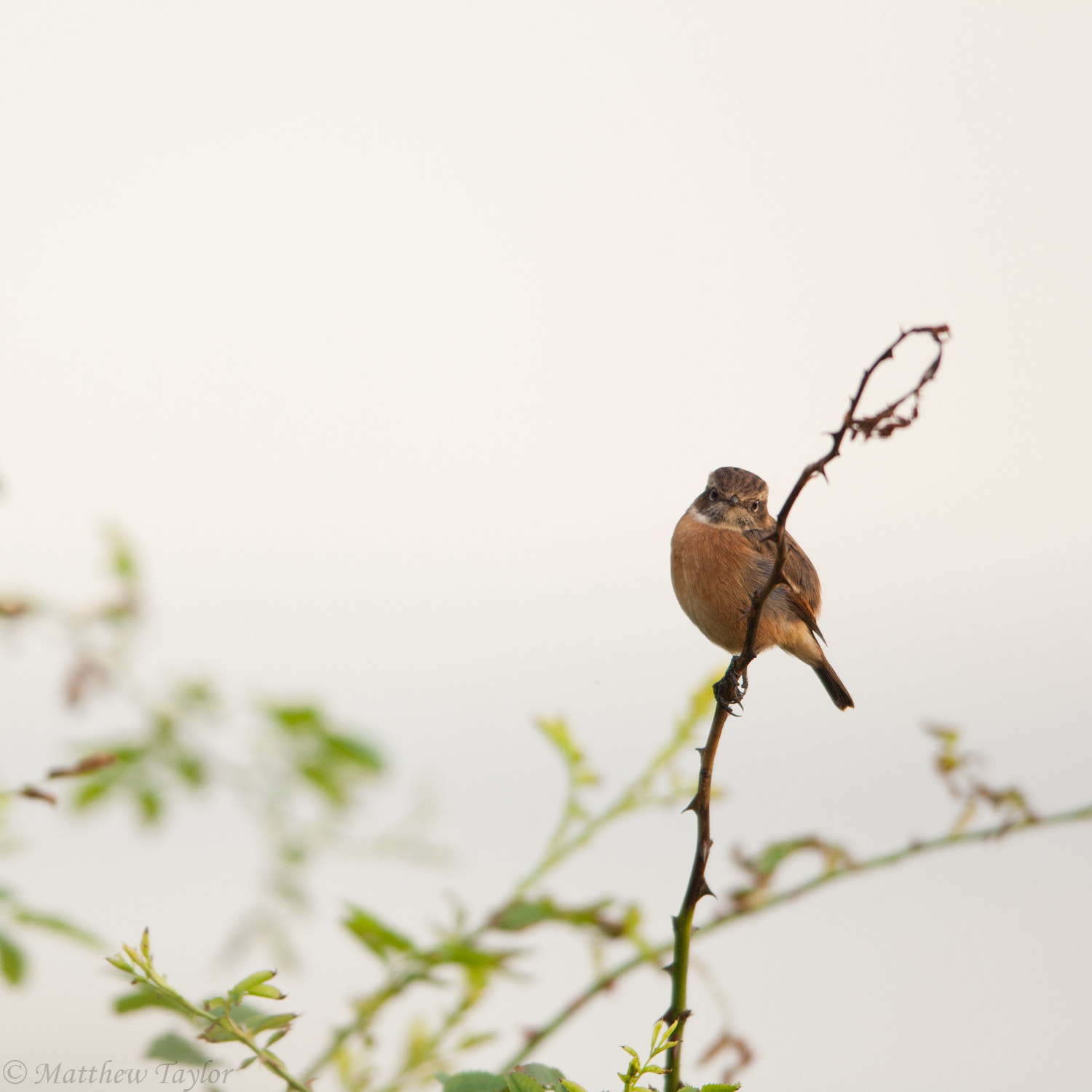 Photograph Stonechat by M Taylor on 500px