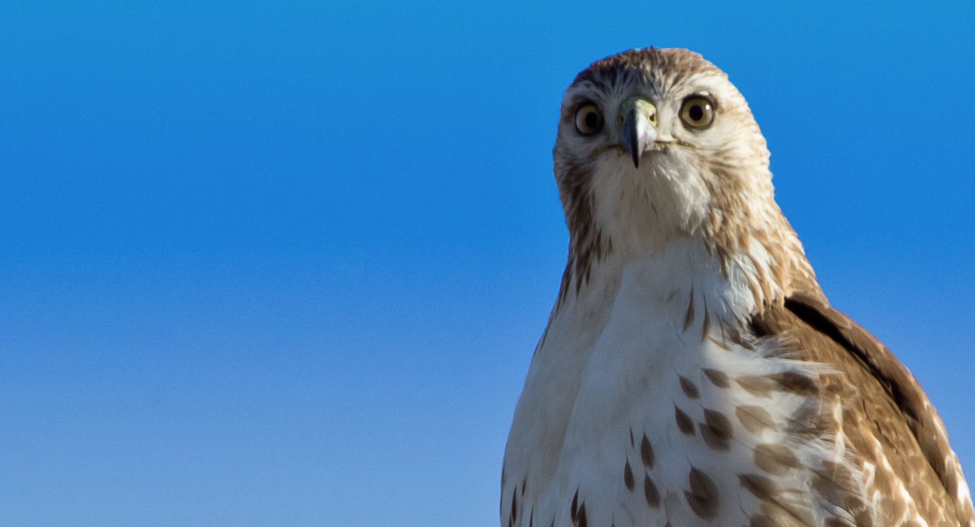 Photograph Red-Tailed Hawk by Jason McSpadden on 500px