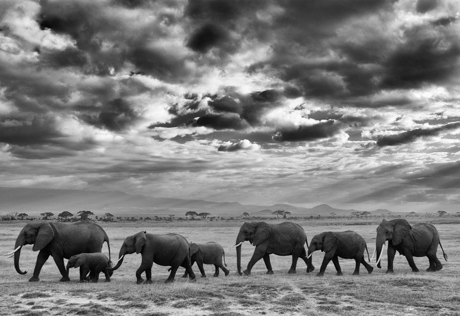 Amboseli Family March by Matt MacDonald on 500px.com