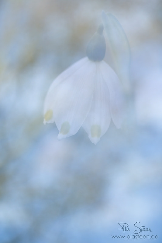 Photograph Leucojum vernum by Pia Steen on 500px