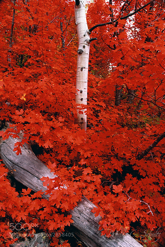 Photograph Rocky Mountain Maple by David C. Schultz on 500px