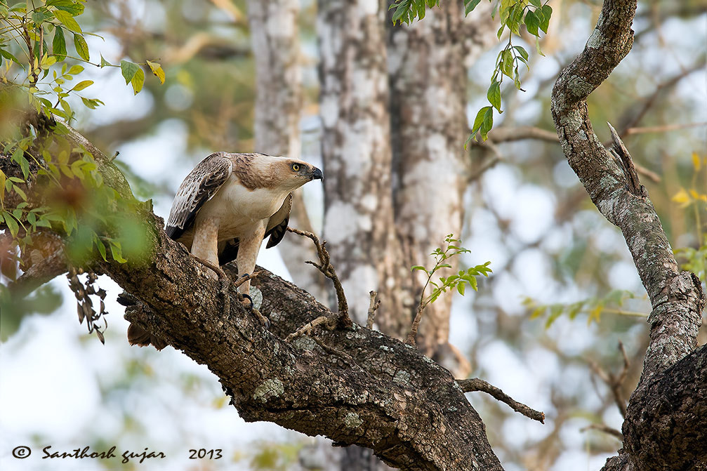 Photograph Habitat - Changeable Hawk Eagle.  by Santhosh Gujar on 500px
