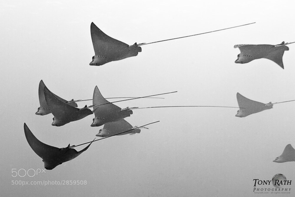 Photograph School of spotted eagle rays by Tony Rath on 500px
