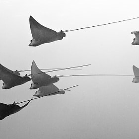 School of spotted eagle rays by Tony Rath (tonyrath)) on 500px.com