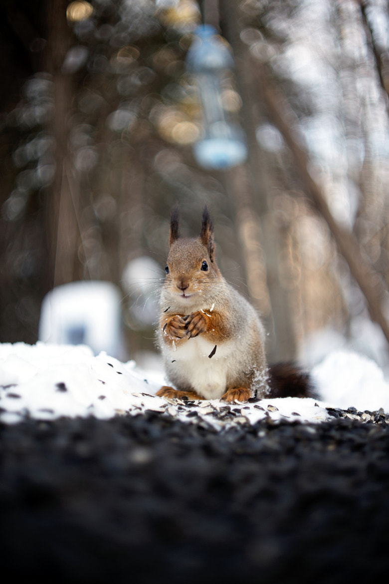 Photograph Squirrel by Gleb Skrebets on 500px