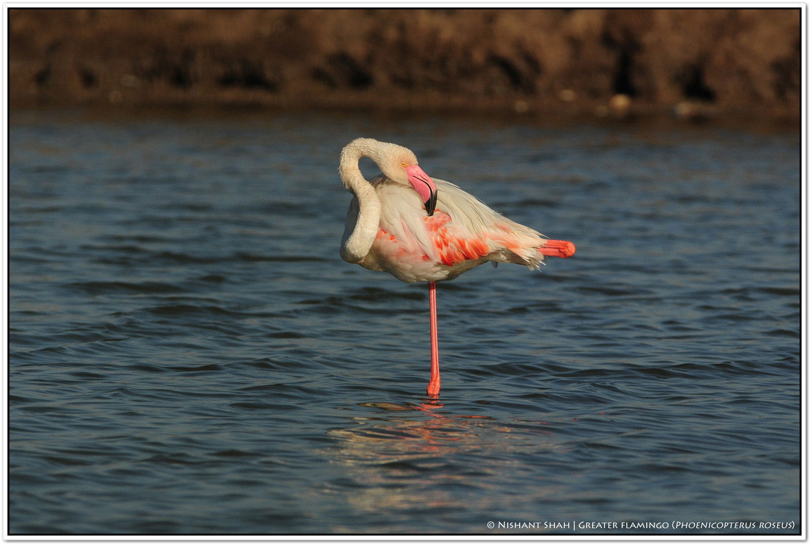 Photograph Greater Flamingo by Nishant Shah on 500px