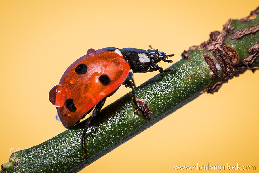 Coccinella septempunctata by Charly Morlock (charlymorlock)) on 500px.com