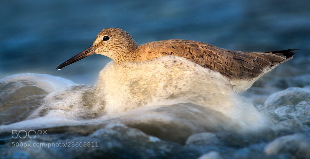 Photograph Wave Running Willet by Steve Perry on 500px