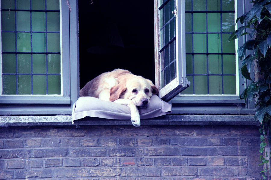 Fidel, the most photographed dog of Bruges by Sandra Montalvo on 500px.com