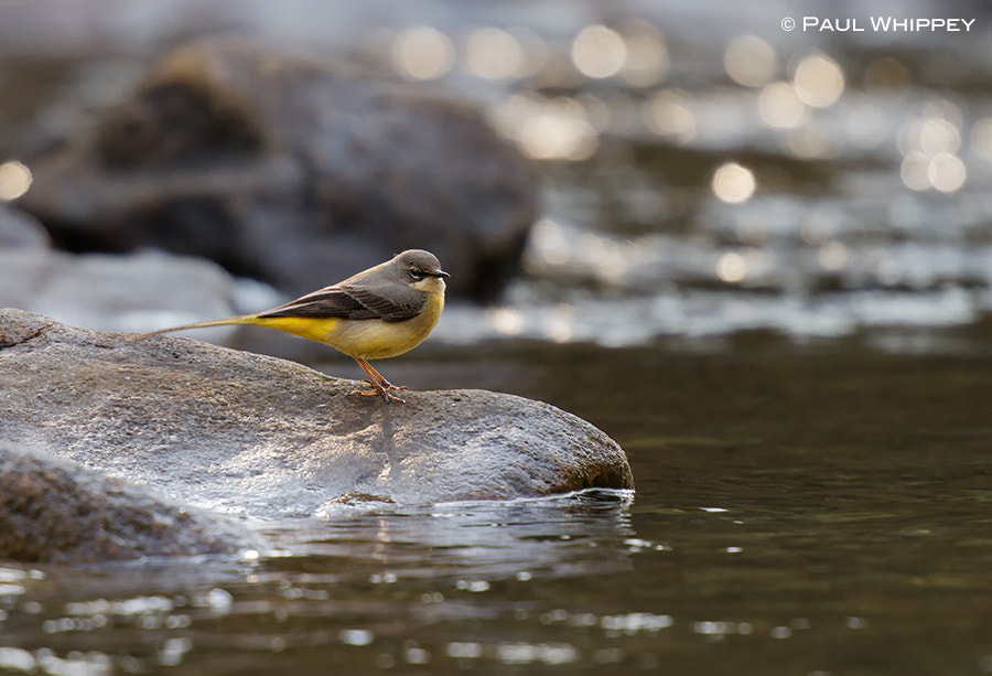 Photograph Grey wagtail (Motacilla cinerea) by Paul Whippey on 500px