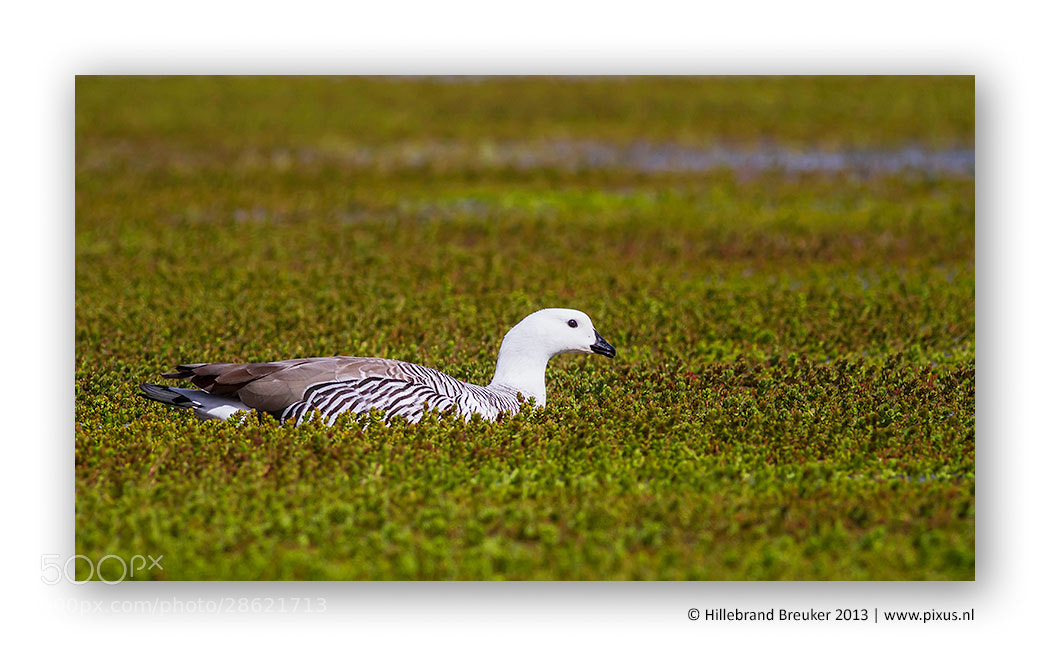 Photograph Magellan Goose by Hillebrand Breuker on 500px