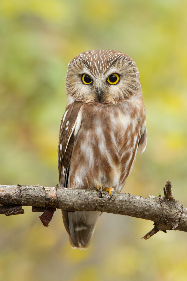 Photograph Northern Saw-whet Owl out in the open. by Daniel Cadieux on 500px