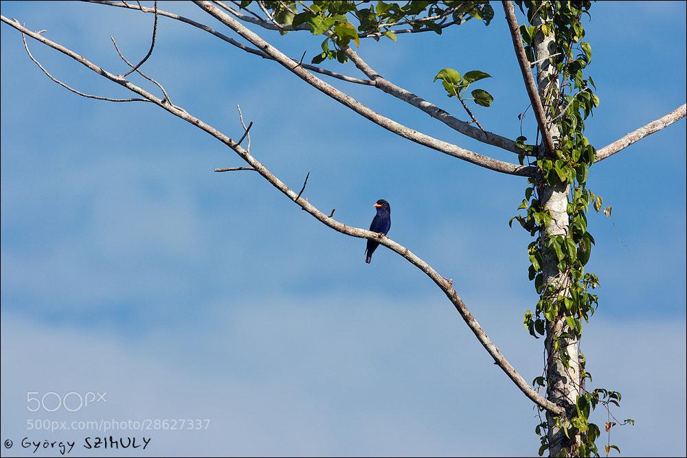 Photograph Azure Dollarbird (Eurystomus azureus) by Gyorgy Szimuly on 500px