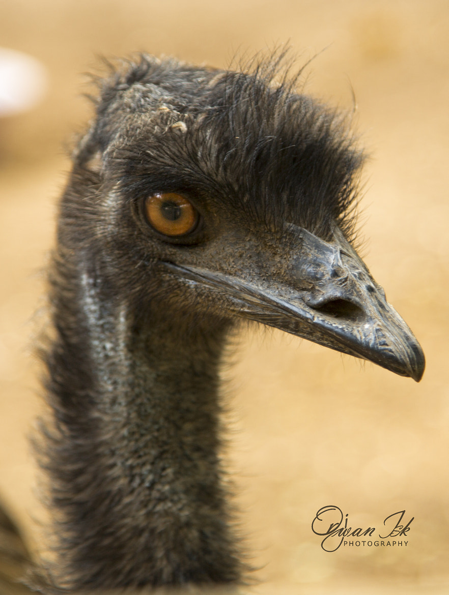 Photograph ostrich portrait by Orjwan Isk on 500px
