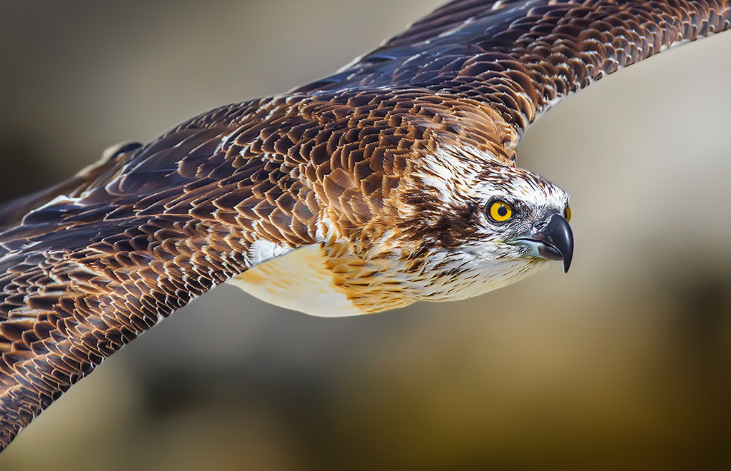 Photograph Osprey Close Fly-by by Andrew Tingle on 500px