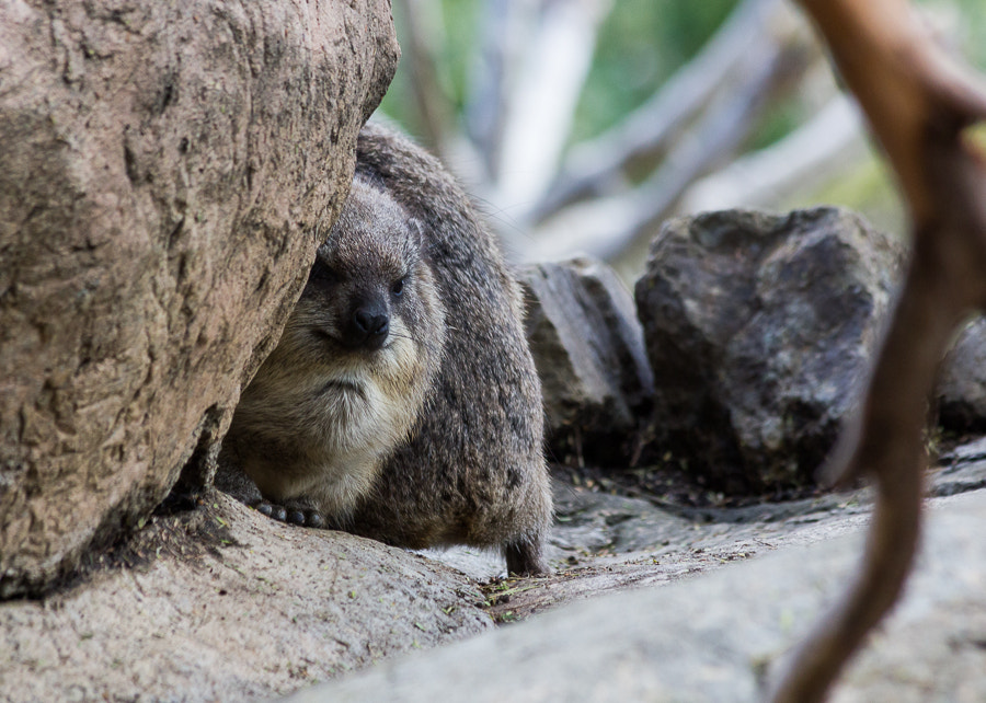 Photograph Rock Hyrax by Judson Powers on 500px