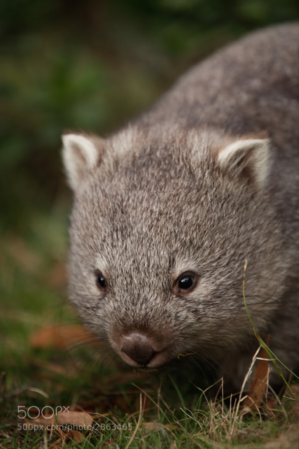 Photograph Baby Wombat! by Najjib Aziz on 500px