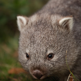 Baby Wombat! by Najjib Aziz (analogital)) on 500px.com