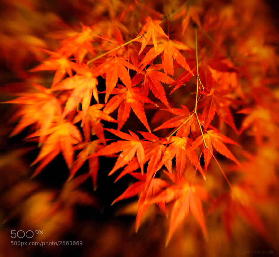 Photograph Japanese Maple by Anton Chekalin on 500px