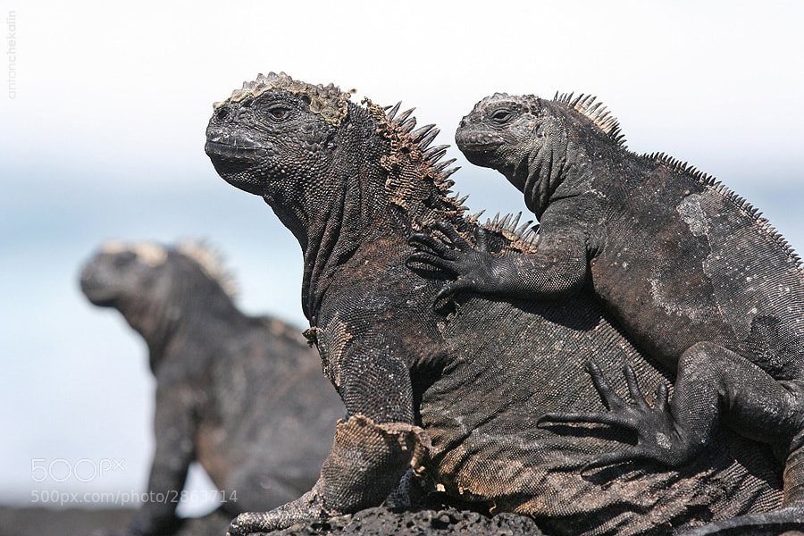 Photograph Iguanas by Anton Chekalin on 500px