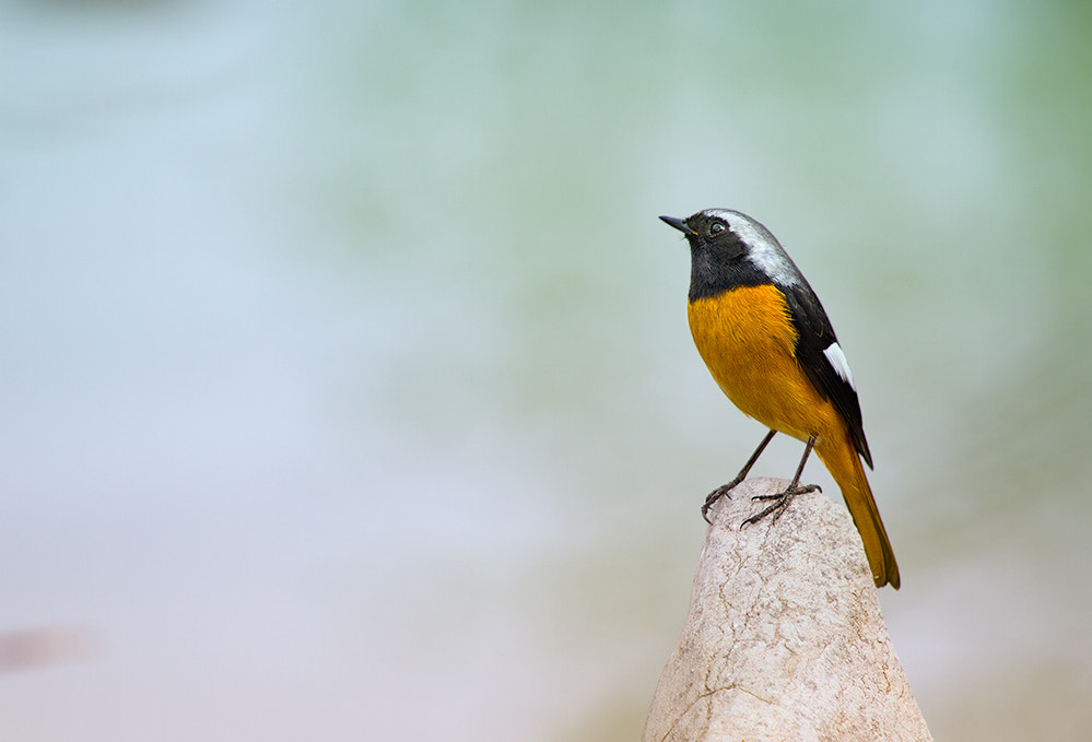 Photograph 北红尾鸲 Daurian Redstart by dongfeng wu  on 500px