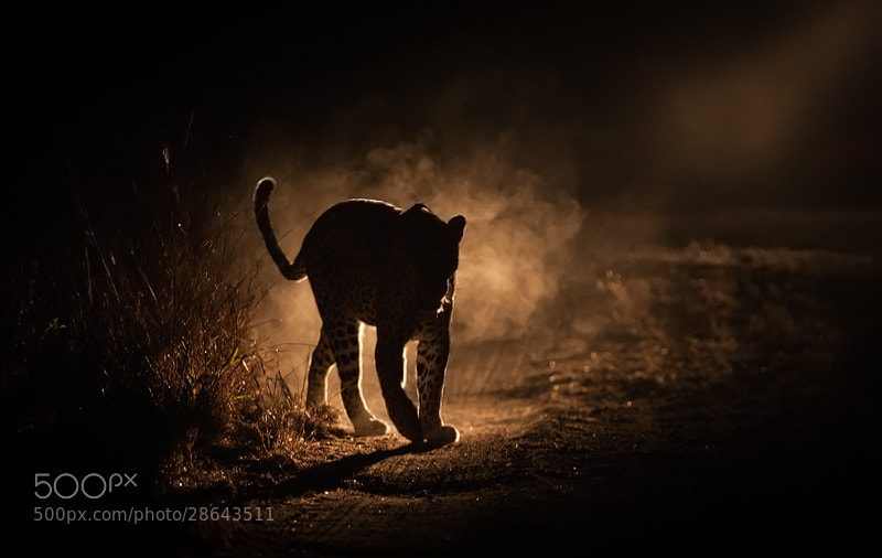 Photograph Leopard Silhouette  by Lee Bothma on 500px
