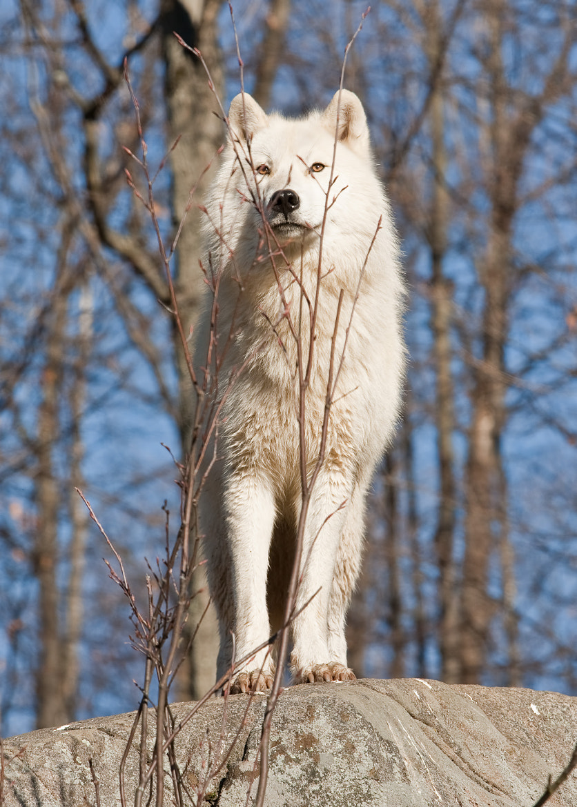 Photograph Loup arctique ( Arctic wolf ) by bruno Lazzoni on 500px