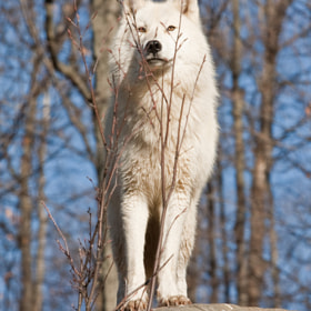 Loup arctique ( Arctic wolf ) by bruno Lazzoni (blazzoni)) on 500px.com