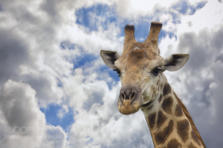 Photograph Giraffe in The Clouds by Mario Moreno on 500px