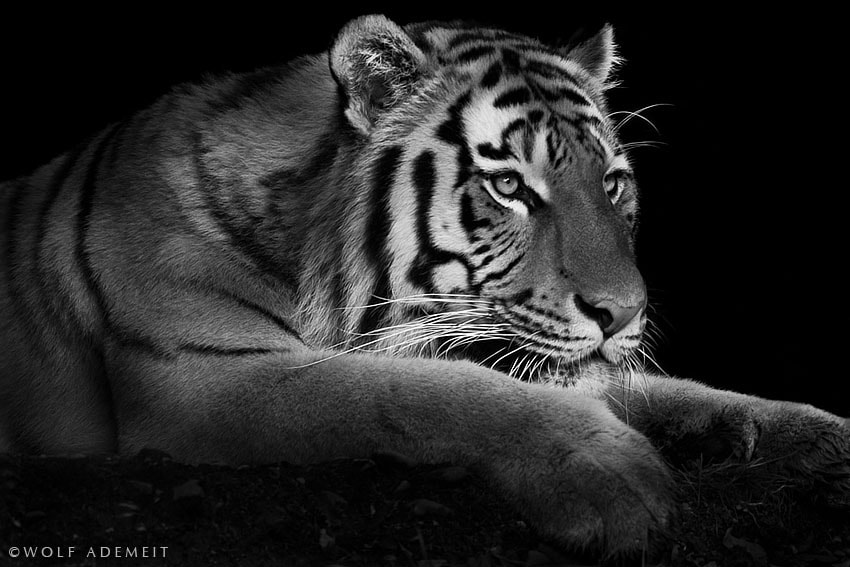 Photograph hunting tiger by Wolf Ademeit on 500px