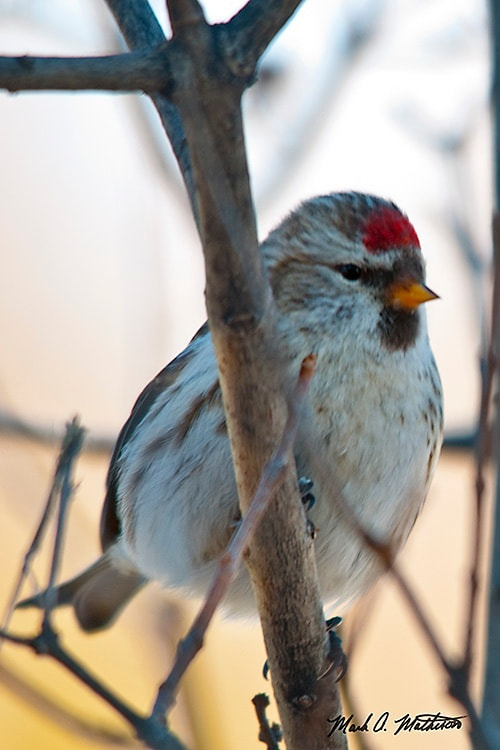 Photograph Common Redpoll by Mark Mathison on 500px